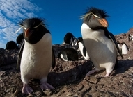 Thumb rockhopper penguins